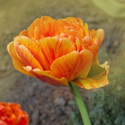 Bulbi di tulipano multifiore giallorosso sunlover tulipark