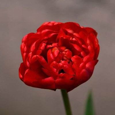 Bulbi di tulipano multifiore rosso miranda tulipark