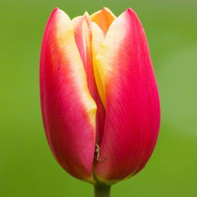 Bulbi di tulipano rosso giallo king's cloack tulipark