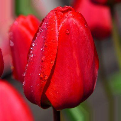 Bulbi di tulipano rosso seadov tulipark