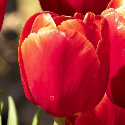 Bulbi di tulipano rosso verand tulipark