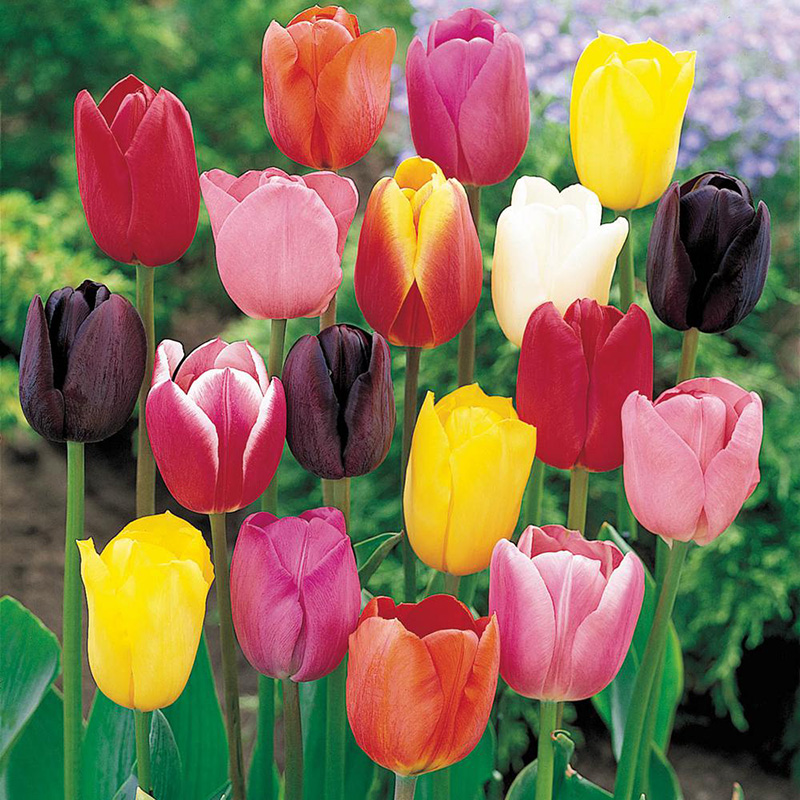 Vendita Bulbi di Tulipano assortiti