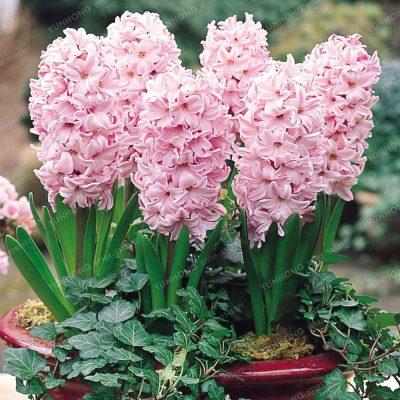 Giacinto china pink